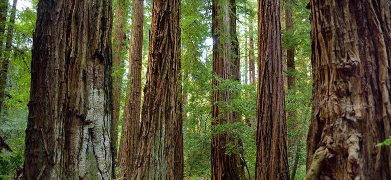 Trees in Muir Woods